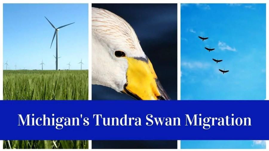 Tundra Swans Migration Through Michigan's Thumb