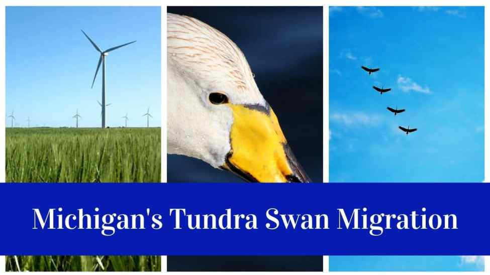 Michigan Tundra Swan Migration
