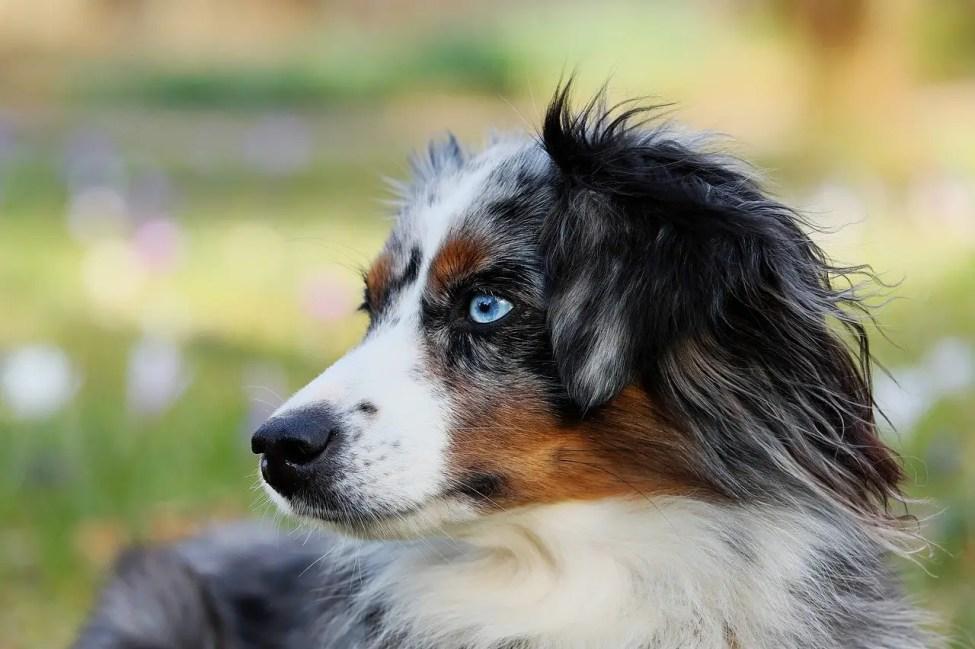 Australian Shepherd - Dog Breeds for Camping