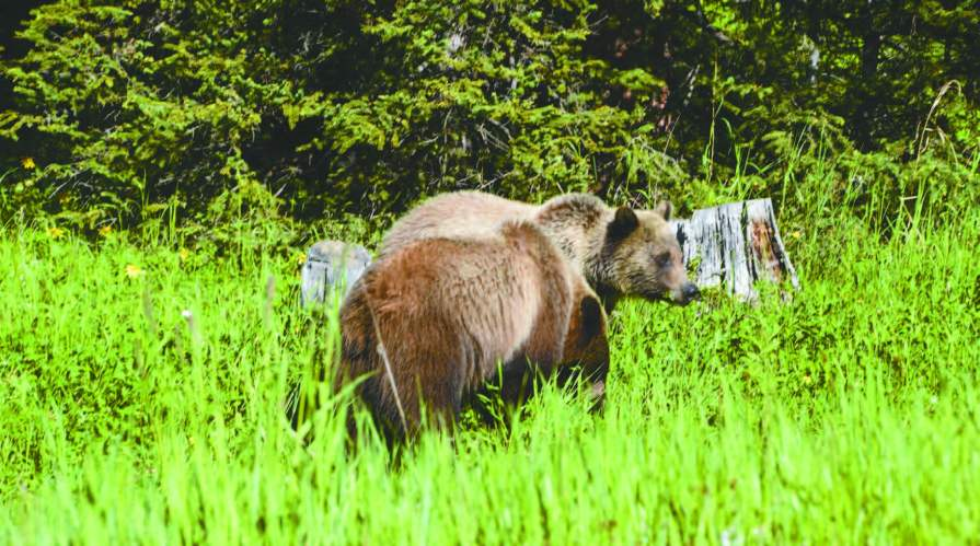 Grizzly bears along the Beartooth Highway
