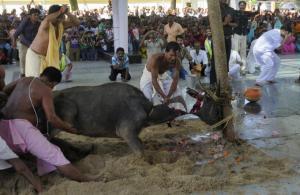 SAC- AGARTALA devotees-sacrifice-a-buffalo-calf-as-part-of-a-ritual-during-the-durga