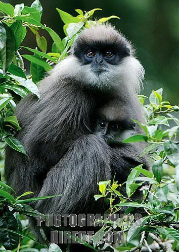 The Bear Monkey ( Semnopithecus vetulus monticola ) , endemic to the mountains of Sri Lanka .