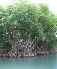 Mongrove 22