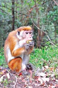 monkey-juliette-c
