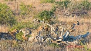 280516running-cheetah_1-copy