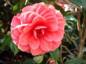Camellia Japonica - m