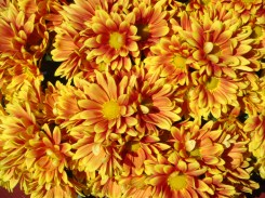 Yellow Mums with Red Flare - m
