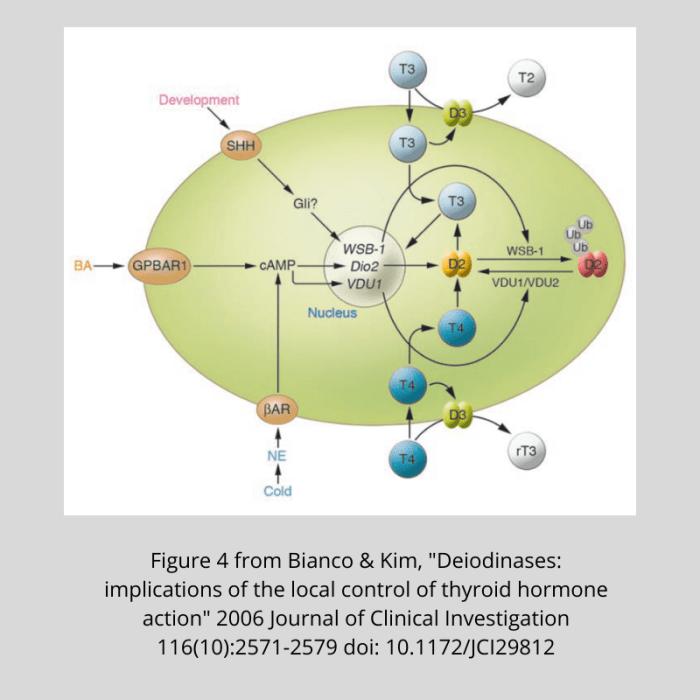 Bianco-Fig-4-Deiodinases