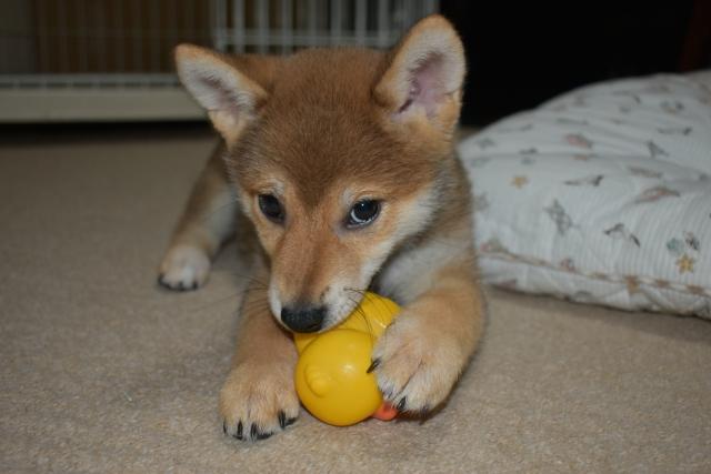 おもちゃと遊ぶ子犬