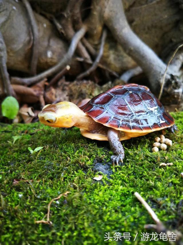 美麗的黃緣閉殼龜 游龍龜捨出品 - 每日頭條