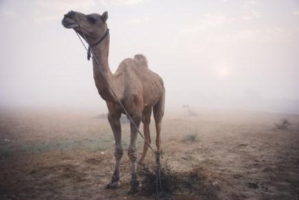camel at thar desert