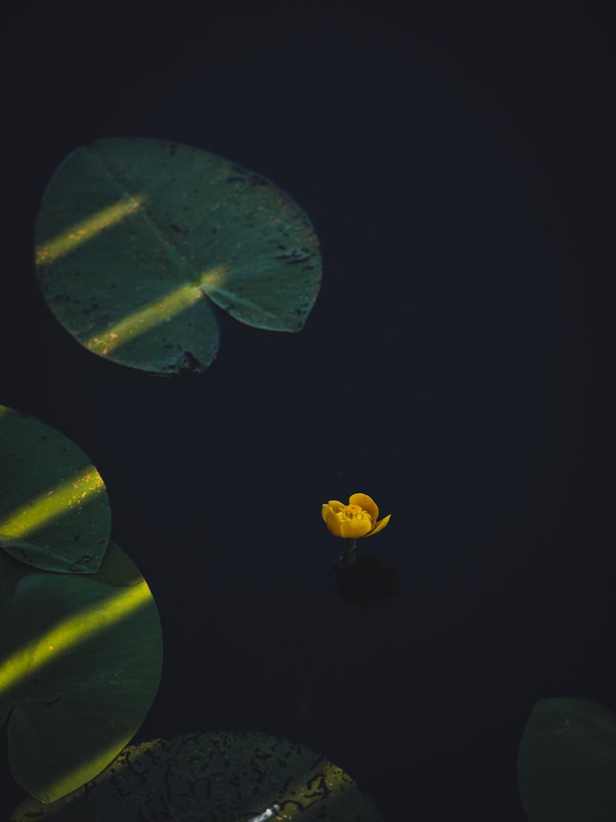 ninfee gialle al lago di fimon