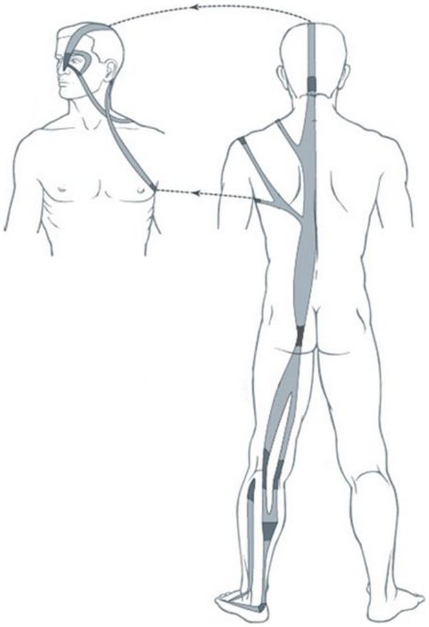 Illustration du méridien tendino-musculaire de la vessie