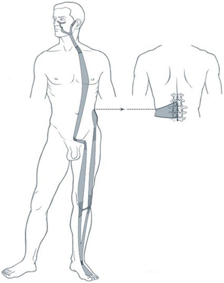 Illustration du méridien tendino-musculaire de l'estomac