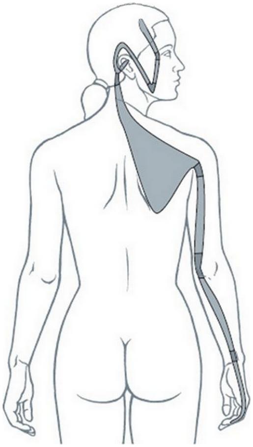 Illustration du méridien tendino-musculaire de l'intestin grêle