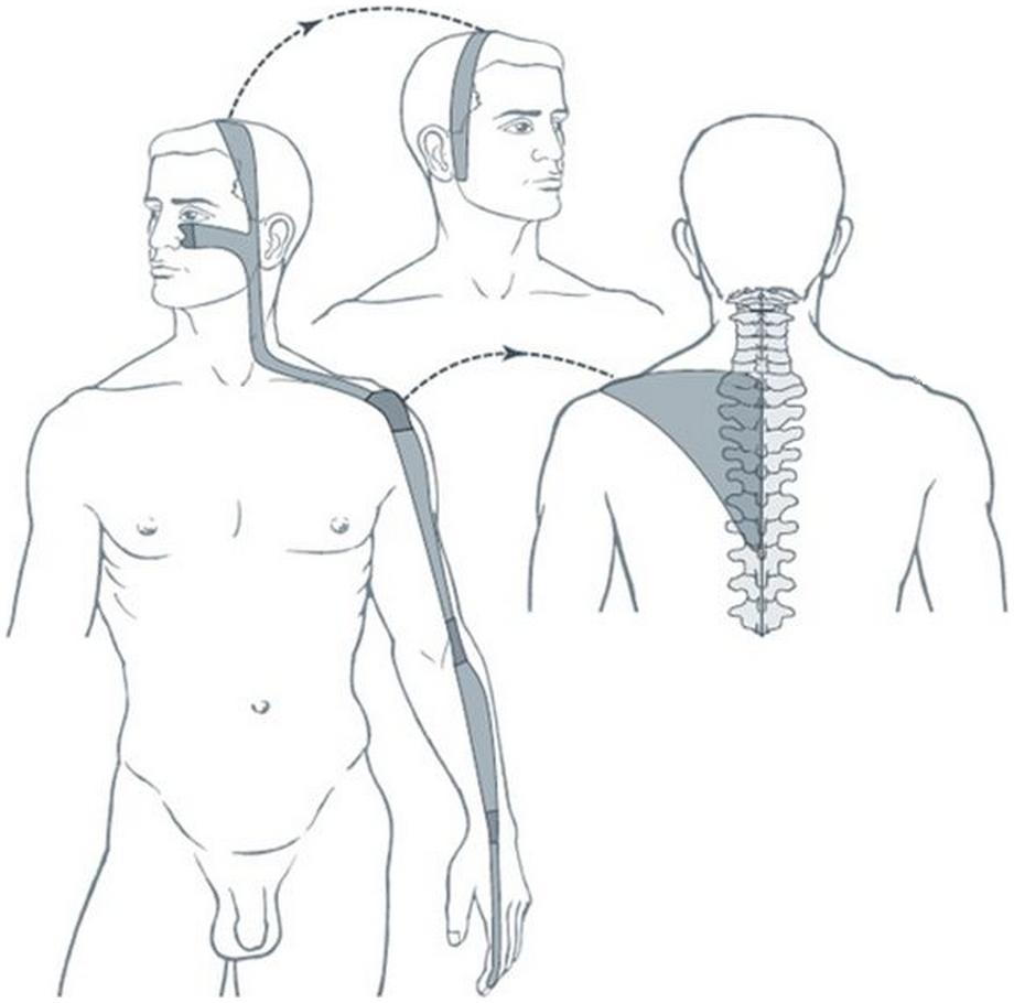 Illustration du méridien tendino-musculaire du gros intestin