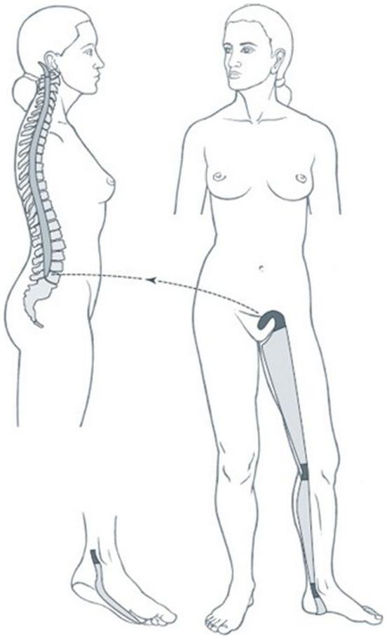 Illustration du méridien tendino-musculaire du rein