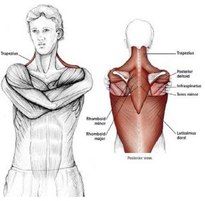 Illustration anatomique de l'étirement des épaules, les bras enlacent les épaules