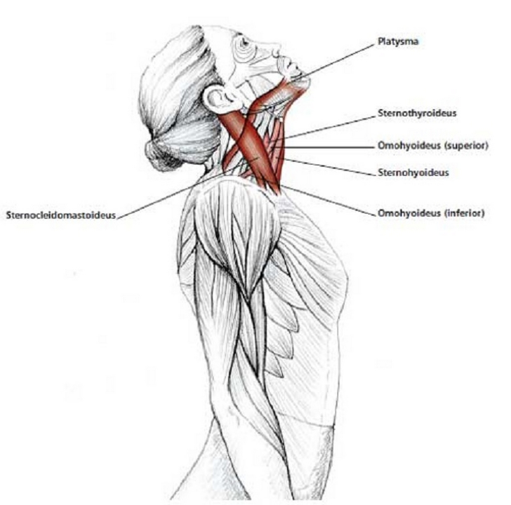 Illustration anatomique de l'extension du cou