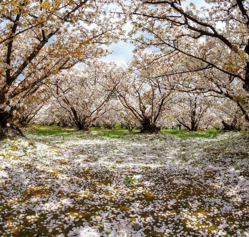 Photographie des cerisiers en fleur du temple Ninna-ji
