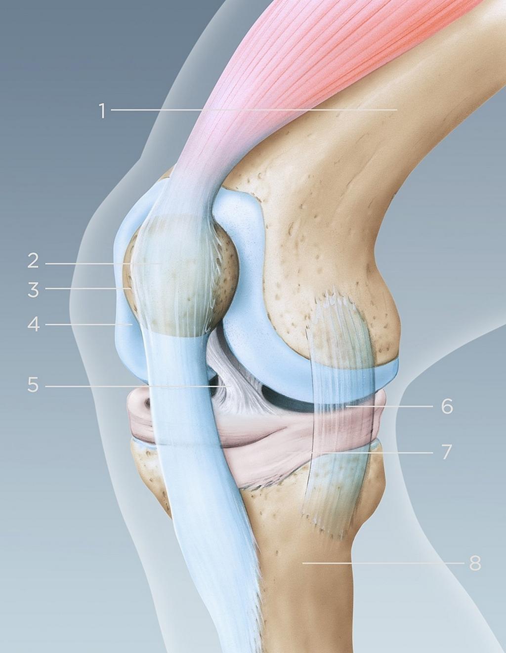 Illustration de l'anatomie du genou vue latérale