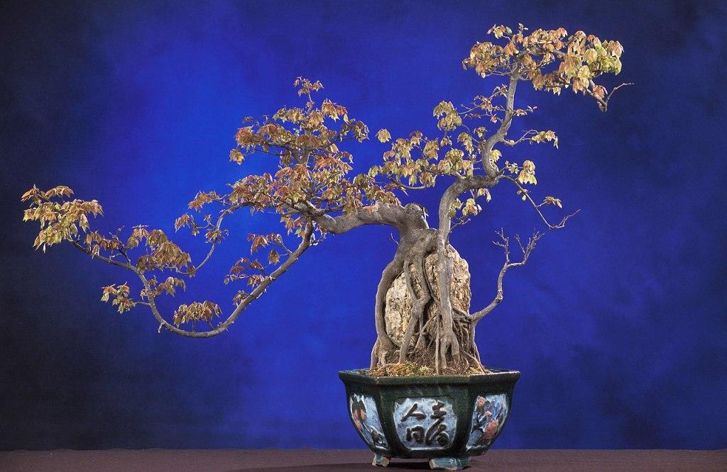 Photographie d'un penjing dans le style racines sur roc