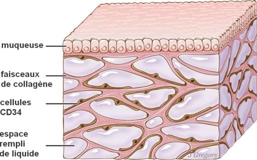 L'interstitium, apparaît ici sous la couche supérieure de la peau