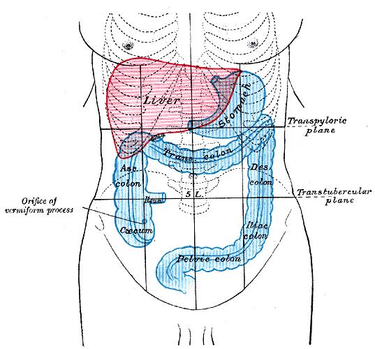 Abdomen, schéma du foie, de l'estomac et du gros intestin