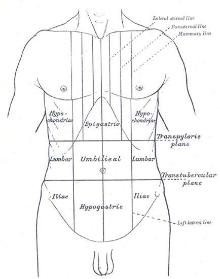 Thorax et abdomen