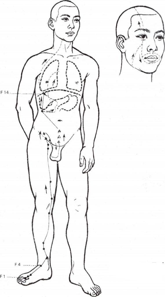Illustration du méridien du foie