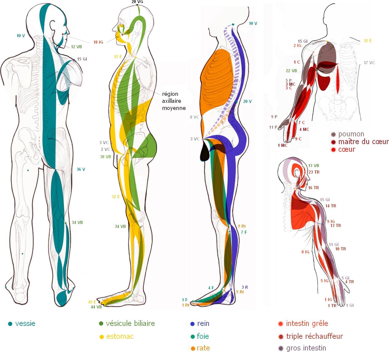 Illustration des méridiens tendino-musculaires