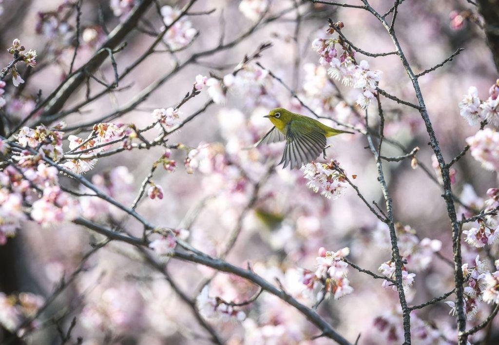 Un oiseau à œil blanc vole parmi les cerisiers en fleurs au Jardin botanique de Nanjing Zhongshan
