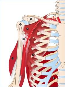 4 dentelé antérieur, 5 tête de l'humérus, 6 processus coracoïde de la scapula, 7 subscapulaire, 8 tendon, 9 grand dorsal, 10 grand rond, triceps brachial