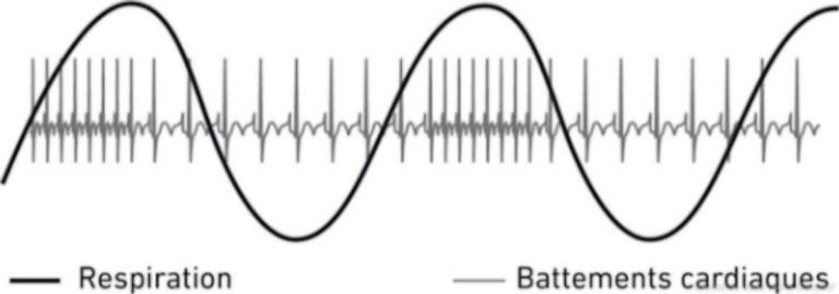 En respiration profonde, les battements cardiaques sont fortement couplés aux phases d'expiration et d'inspiration