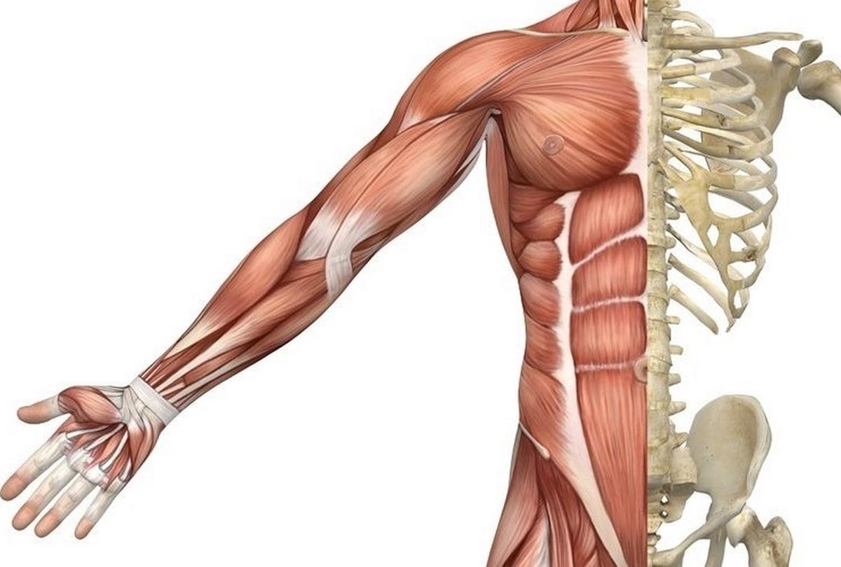 Muscle squelettique