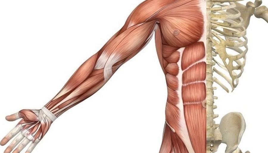 Muscles squelettiques du torse et du bras