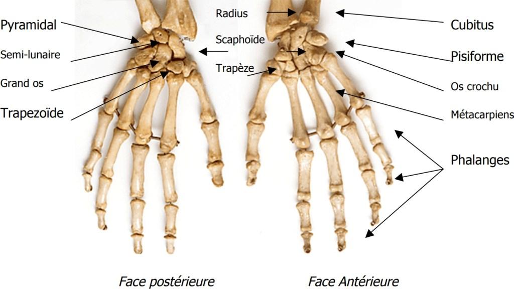 Autopode humain divisé en 3 parties : carpe, métacarpes, phalanges