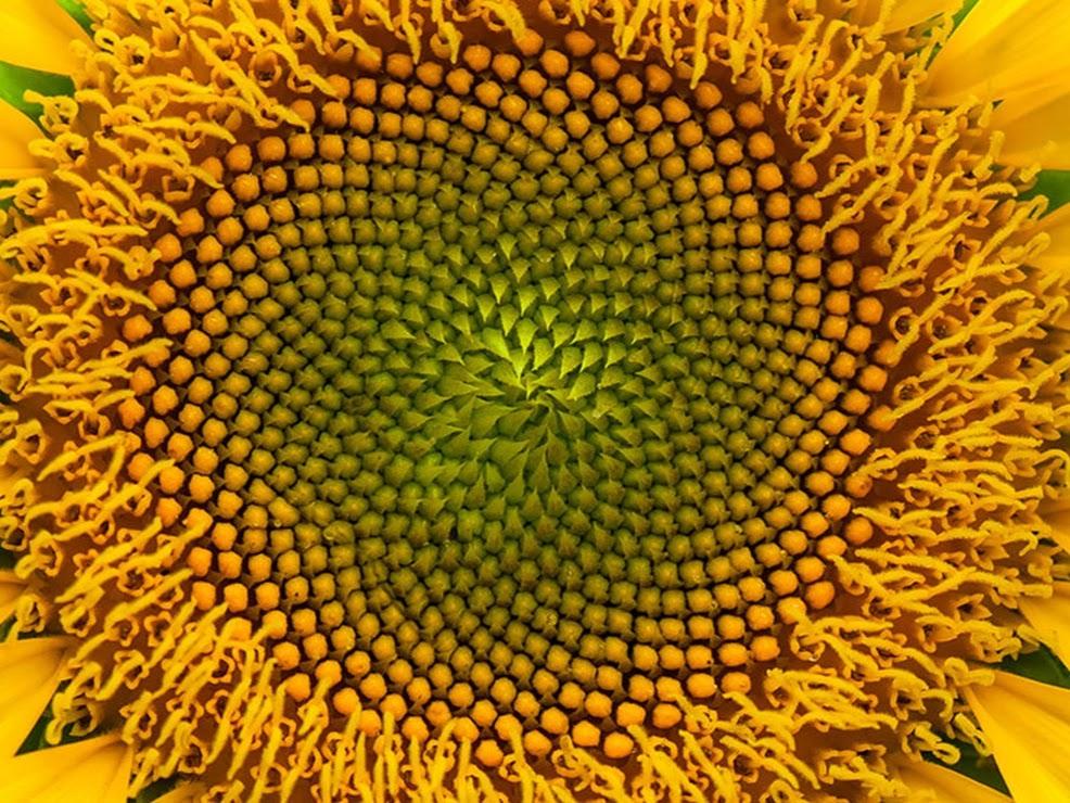 Tournesol et suite de Fibonacci