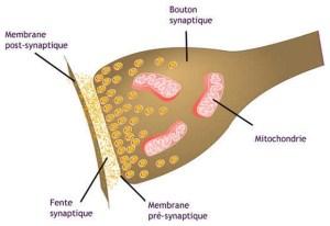 Schémas d'une synapse