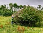 Picking-buddleia-on-Donabate-Dexter-Farm