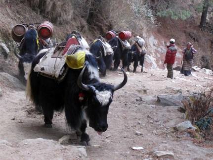 Yak train in Nepal, photo: Laurent Moose, Flickr