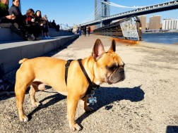 Frenchies are SO popular in DUMBO