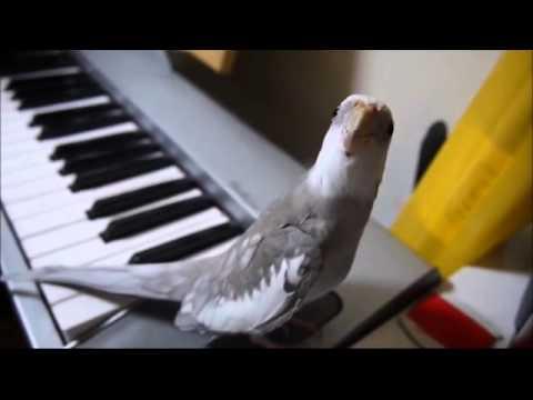 Loro pianista dueto