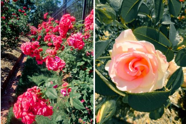 Fernbank-Rose-Staton-Garden-19a