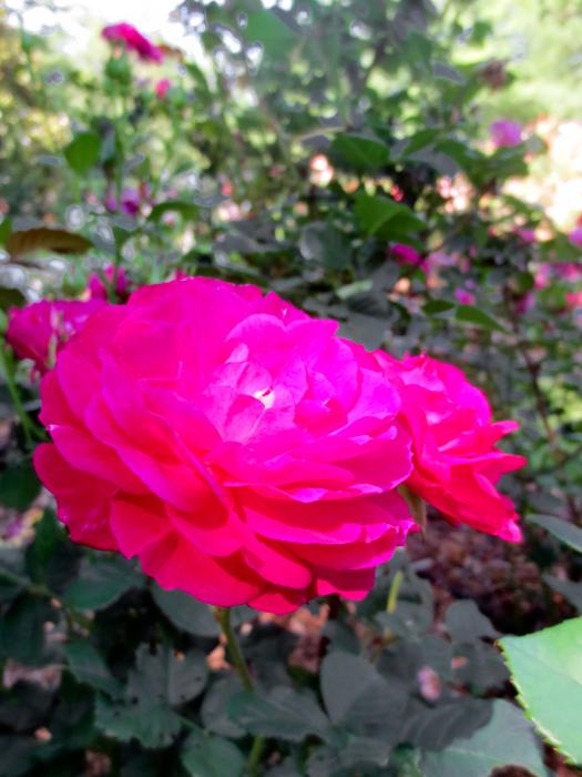 Fernbank-Rose-Staton-Garden-22a