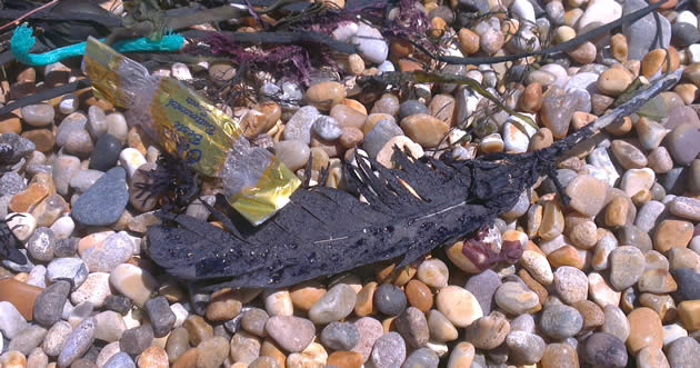 Oil-covered feather on Cogden Beach