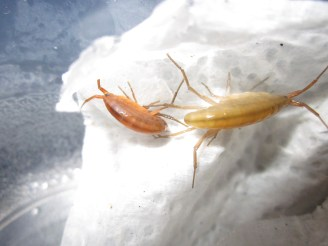Parasitized (orange) and brown amphipods