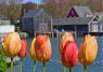 Tulips in front of water harborview