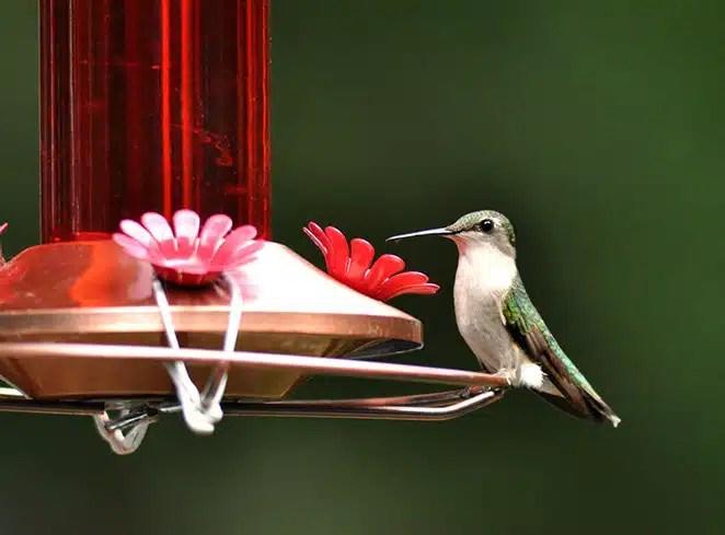 Humming Bird on Feeder - Robert Thayer