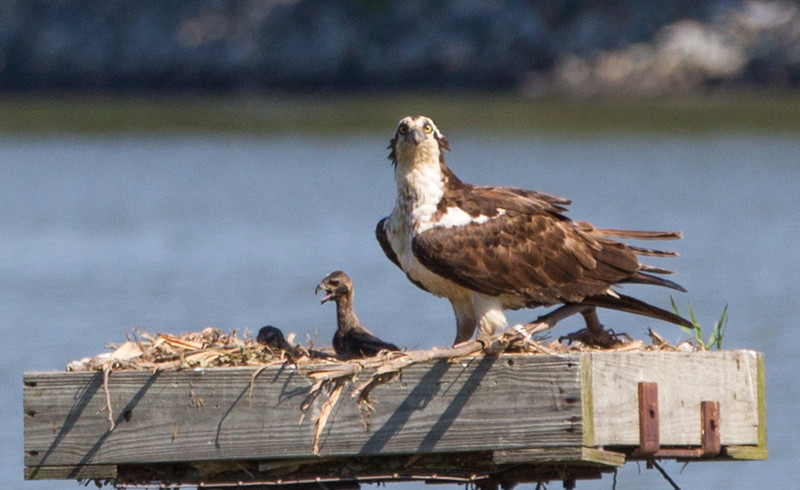 Osprey with Chick - Angela Eade